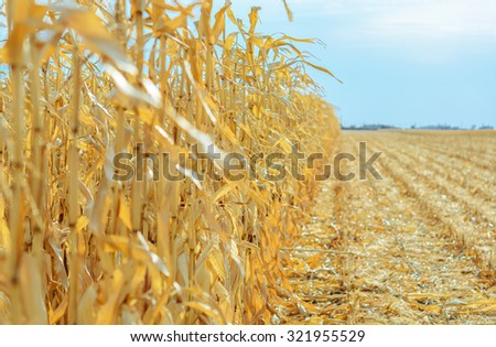 Ripe corn in the field is dry and ready for harvest - stock photo