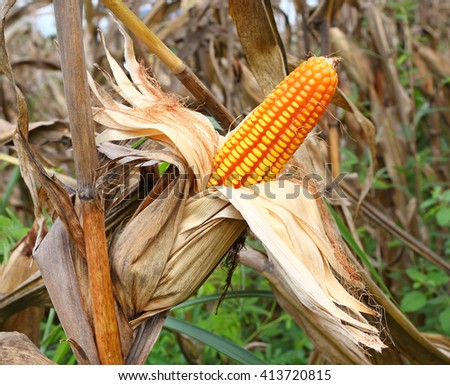 Ripe corn on corn field - stock photo