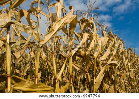 Ripe corn stalks and ears - stock photo