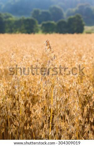 Ripe cornfield in countryside landscape - stock photo