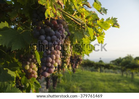 Ripe Corvina Veronese grapes on a vine in a vineyard in the Valpolicella area north of Verona in Italy illuminated by warm sunlight - stock photo