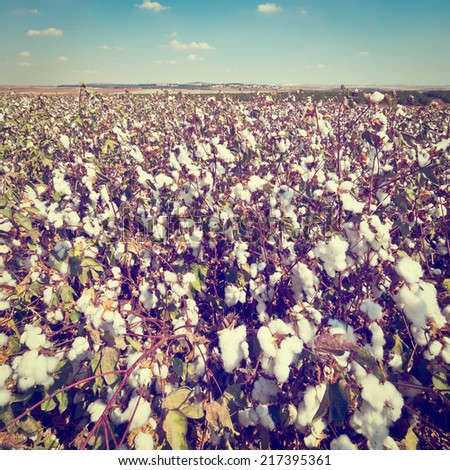 Ripe Cotton Bolls on Branch Ready for Harvests, Instagram Effect - stock photo