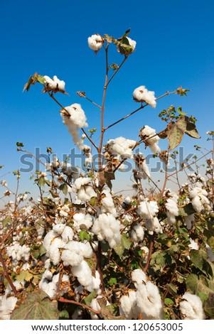 Ripe cottons bush in a field under blue sky - stock photo
