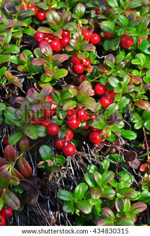 Ripe cowberries on the bushes.  - stock photo