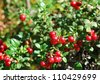 Ripe cowberry - stock photo
