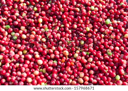 Ripe cranberries loose in the background. horizontal photo.