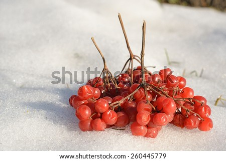 ripe cranberry twig in the snow - stock photo