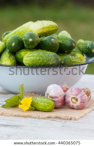Ripe cucumbers in metal bowl and fresh garlic on jute canvas on old white wooden table in garden on sunny day, healthy nutrition - stock photo