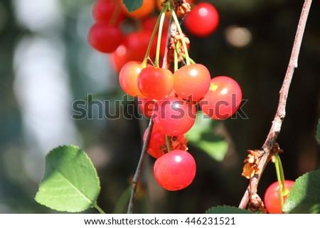 Ripe cultivar cherries in the June garden - stock photo