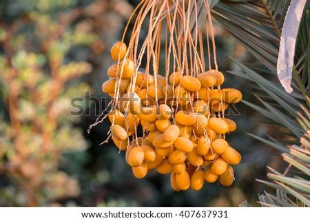 Ripe dates on the palm tree - stock photo
