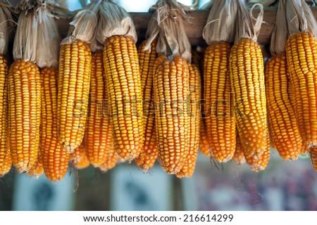 Ripe dried corn cobs hanging   - stock photo