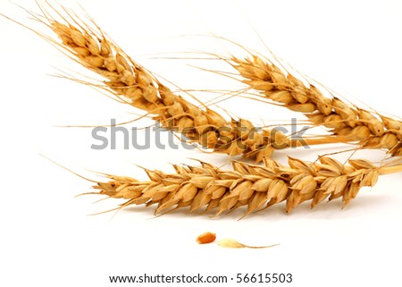 Ripe ears and Wheat grain on a white background - stock photo