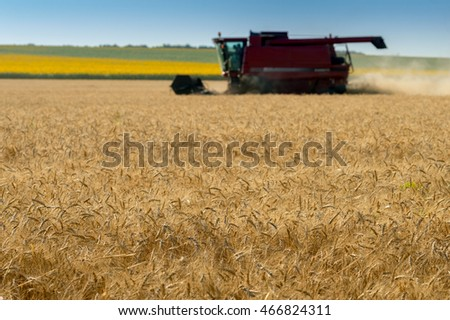 ripe ears of wheat during the harvest