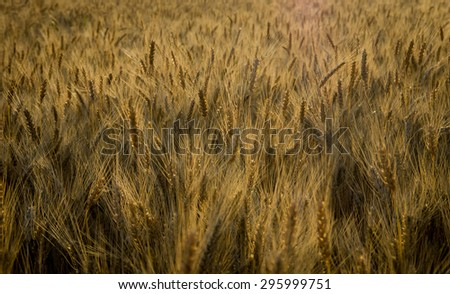 Ripe ears of wheat growing in the field on a summer morning