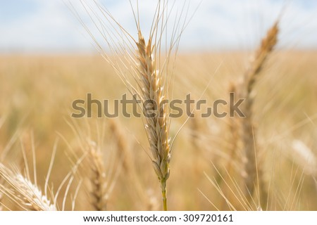 Ripe ears of wheat in a large agricultural field ready for harvesting for use as a human foodstuff and staple or for winter feed for livestock - stock photo