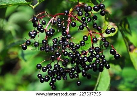 Ripe elderberries growing on the tree, UK. - stock photo