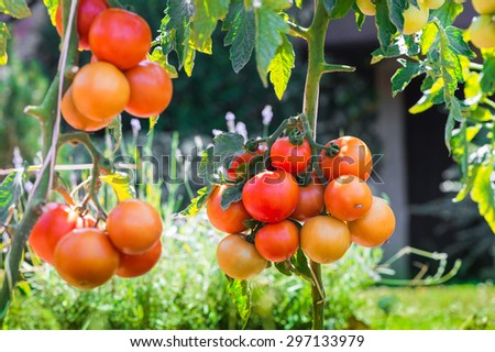 RIpe garden tomatoes ready for picking - stock photo