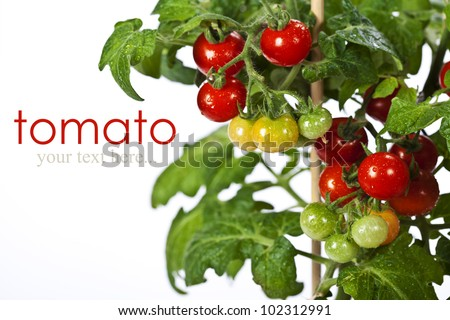 Ripe garden tomatoes ready for picking over white (with easy removable text) - stock photo