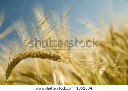 Ripe golden barley stalk. - stock photo
