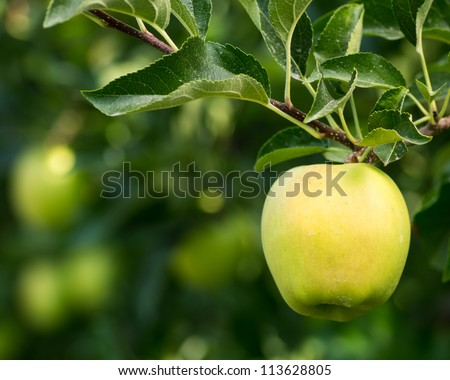 Ripe golden delicious apple hanging on a tree - stock photo