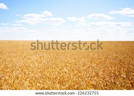 Ripe golden wheat