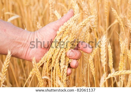 Ripe golden wheat ears in her hand the farmer - stock photo