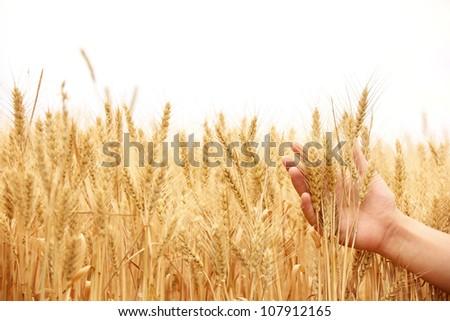 Ripe golden wheat in hand - stock photo
