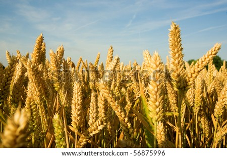 Ripe golden wheat spikes and blue sky