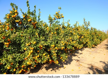Ripe Grapefruit trees on citron plantation - stock photo