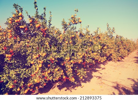 Ripe grapefruit trees on citron plantation. Image done with a vintage retro instagram filter   - stock photo