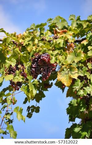 Ripe grapes against blue sky - stock photo