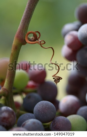 Ripe grapes. Close-up of ripening red wine grapes in vineyard during autumn.  - stock photo
