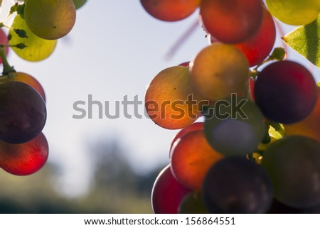 Ripe grapes closeup and sky blue - stock photo