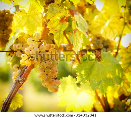 Ripe grapes colors like gold - Riesling  - stock photo