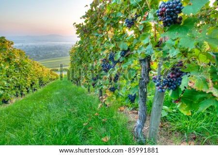 Ripe grapes in a vineyard in Germany - stock photo