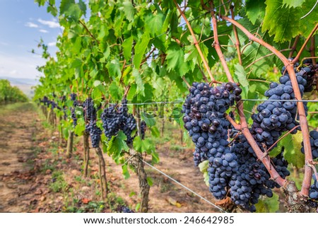 Ripe grapes in a vineyard, Tuscany - stock photo