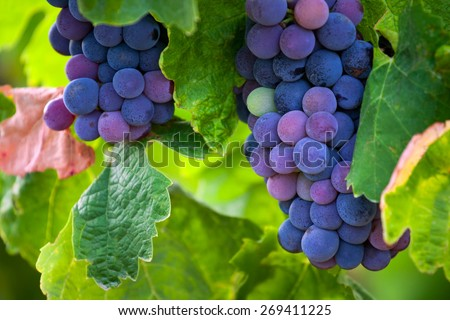 Ripe grapes in autumn, France - stock photo