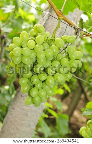 Ripe grapes in his vineyard  - stock photo