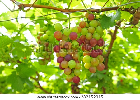 Ripe grapes in his vineyard  - stock photo