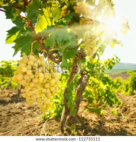 Ripe grapes in the vineyard - stock photo