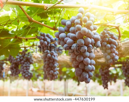 Ripe grapes in vineyards with sunset light effect