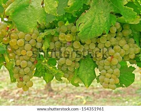 Ripe grapes on a vine.  - stock photo