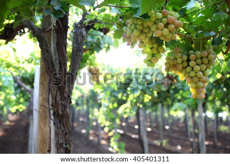 Ripe grapes on a vine in a vineyard Photographed in Kfar Tabor, Israel in July - stock photo