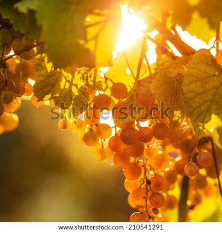 Ripe grapes on a vine with bright sun shining through the green grape leaves. Vineyard harvest season. - stock photo
