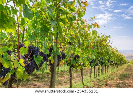 Ripe grapes on the vine - stock photo