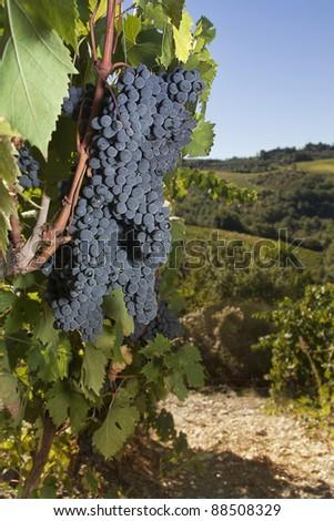 Ripe grapes on the vine in the Chianti area, Tuscany - stock photo