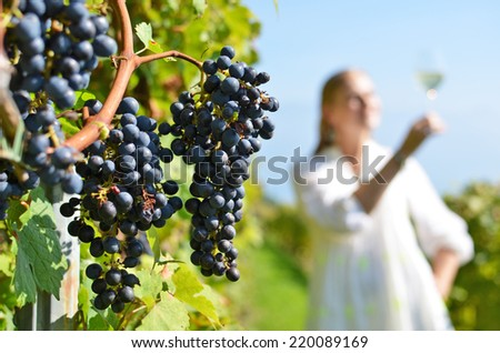 Ripe grapes. Vineyards in Lavaux, Switzerland - stock photo