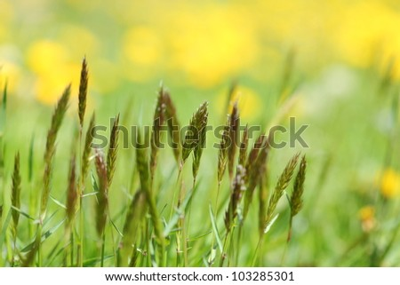 Ripe grasses against a dandelion yellow background