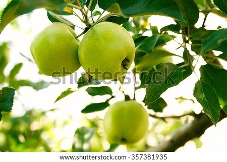 ripe green fruit apples hanging on a tree branch - stock photo