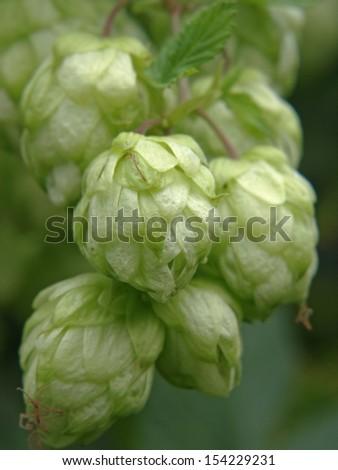 Ripe green hop cones taken closeup.Beer production. - stock photo